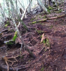 Paths through dense woodland with tree roots exposed